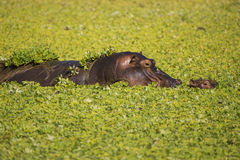 Hippopotamus mother and calf. In pond covered with Hyacinth weed Stock Photo