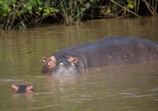 Hippopotamus mother with her baby in the water at the ISimangaliso Wetland Park Royalty Free Stock Photo