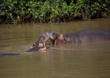Hippopotamus mother kissing with her child in the water at the ISimangaliso Wetland Park stock images