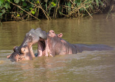 Hippopotamus mother kissing with her child in the water at the ISimangaliso Wetland Park Stock Image