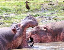 Hippopotamus with mouth wide open with another in the background, south luangwa Stock Images