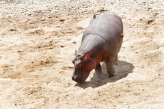 Hippopotamus moving in Mara River Royalty Free Stock Photos
