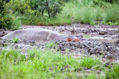 Hippopotamus in mud pool Royalty Free Stock Photo