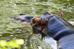 Hippopotamus na água fotos de stock royalty free