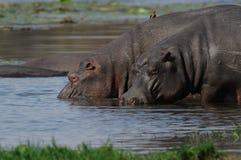 Hippopotamus na água Imagem de Stock