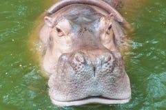 Hippopotamus na água Fotos de Stock