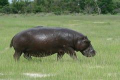 Hippopotamus na terra, Okavango, Botswana foto de stock royalty free