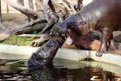 hippopotamus nain Photographie stock