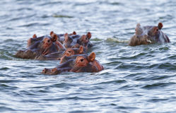 Hippopotamus at Naivasha lake Royalty Free Stock Image