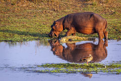 Hippopotamus and Nil crocodile in Kruger National park, South Af Royalty Free Stock Photo