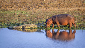 Hippopotamus and Nil crocodile in Kruger National park, South Af Royalty Free Stock Photography