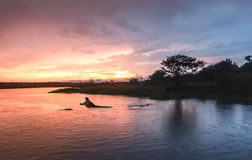 Hippopotamus  in the Nile river at sunrise at the Murchison Fall Royalty Free Stock Photography