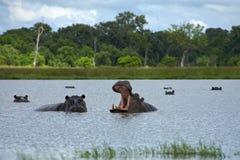 Hippopotamus in Okavango Delta - Moremi National Park. Hippopotamus with open mouth in the Moremi Game Reserve (Okavango River Delta), National Park, Botswana stock image