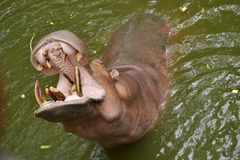 Hippopotamus open the mouth. Royalty Free Stock Images