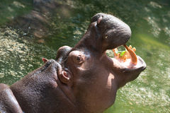 Hippopotamus with open mouth . Royalty Free Stock Photos