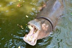 Hippopotamus open mouth Royalty Free Stock Photo