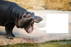 Hippopotamus with open mouth looks like shouting. With text bubble Stock Photo