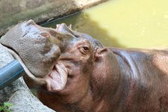 Hippopotamus open mouth. Natural, park, tooth, mammal, river, hippo, head, africa, portrait, hippopotamus, young, african, dangerous, face, mouth, huge Royalty Free Stock Images