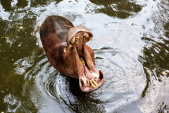 Hippopotamus open mouth in water Royalty Free Stock Image