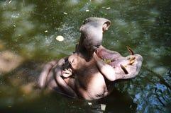 Hippopotamus open the mouth Royalty Free Stock Photo