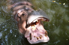 Hippopotamus open the mouth Royalty Free Stock Photography