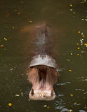 Hippopotamus opened a mouth Stock Images