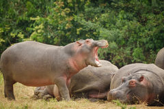 Hippopotamus openin mouth royalty free stock image