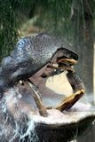 Hippopotamus Opening Mouth Royalty Free Stock Photo