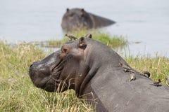 Hippopotamus with Oxpeckers feeding. stock photo