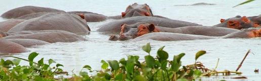 Hippopotamus Panorama. A panoramic shot of a single hippopotamus looking at the camera among a group of hippos in the water Stock Photo