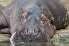 Hippopotamus Royalty Free Stock Photos