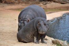Hippopotamus. A photo of 2 Hippopotamus taken in Australia Royalty Free Stock Photos