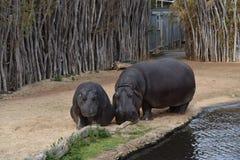 Hippopotamus. A photo of 2 Hippopotamus taken in Australia Stock Photography