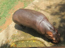 Hippopotamus. This is a photo of a Hippopotamus taken from up Stock Photography