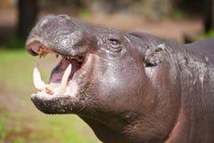 Hippopotamus pigmeo immagine stock libera da diritti