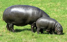 Hippopotamus pigmeo 8 Fotografia Stock