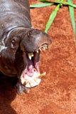 Hippopotamus Pigmy, Hexaprotodon liberiensis Lizenzfreies Stockbild