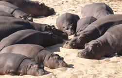 Hippopotamus pigro Fotografia Stock Libera da Diritti