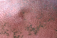 Hippopotamus pink bleeding skin Stock Photo