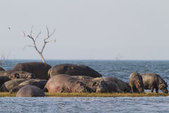 Hippopotamus pod sunbathing. On island stock images