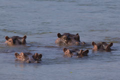 Hippopotamus pod in the Zambezi river Royalty Free Stock Images