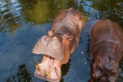 Hippopotamus. In pond stock image
