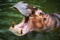 Hippopotamus. In the pond opening its mouth royalty free stock photos