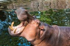 Hippopotamus in pond. Hippopotamus in water pond royalty free stock images