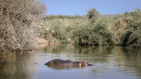 Hippopotamus wallowing staying cool royalty free stock photography