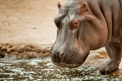 Hippopotamus by the pool Royalty Free Stock Photo