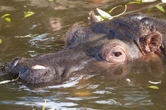 Hippopotamus Portrait Royalty Free Stock Images