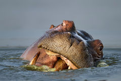 Hippopotamus portrait Royalty Free Stock Photography