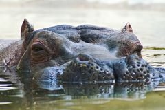 Hippopotamus portrait Stock Photography