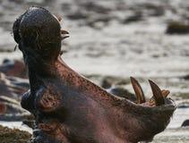 Hippopotamus portrait. Portrait of a hippopotamus with its big mouth wide open Royalty Free Stock Image